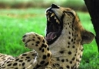 cheetah's Avatar